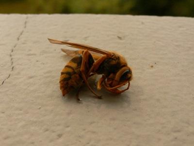 スズメバチ死骸